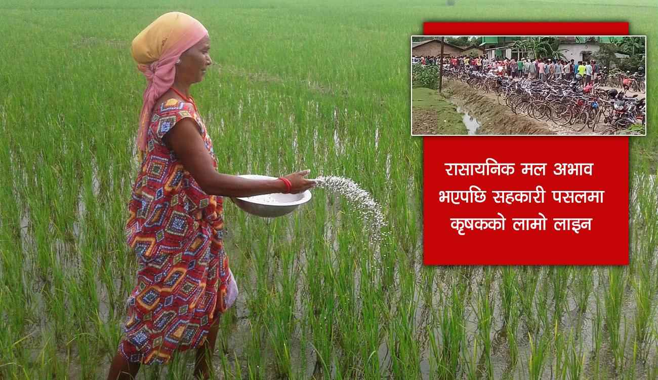 धान रोप्ने सिजनमा मल नपाउँदा तनावमा किसान : अहिले खेती, १५ दिनपछि डीएपी !